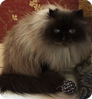 Himalayan Cat for adoption in Nashville, Tennessee - Urijah
