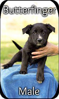 Border Collie/German Shepherd Dog Mix Puppy for adoption in Harrisonburg, Virginia - Butterfinger(pom-dc)