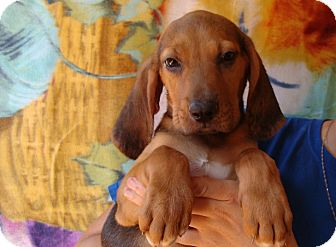 Beagle/Basset Hound Mix Puppy for adoption in Oviedo, Florida - Pip