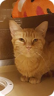Domestic Shorthair Cat for adoption in Plymouth Meeting, Pennsylvania - Papaya