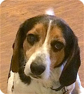 Beagle Dog for adoption in Houston, Texas - Wilbur