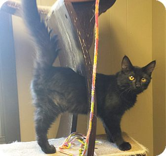 Domestic Mediumhair Kitten for adoption in Sauk Rapids, Minnesota - Trike