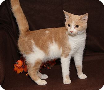 Domestic Shorthair Cat for adoption in Marietta, Ohio - Sir Galahad (Neutered)
