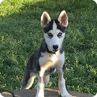 Adopt A Pet :: Cobie - Knoxville, TN