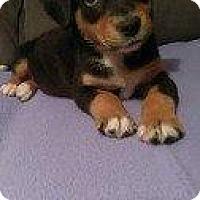 Adopt A Pet :: DAMION - Hampton, VA