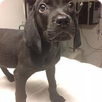 Adopt A Pet :: Arthur - St. Louis, MO