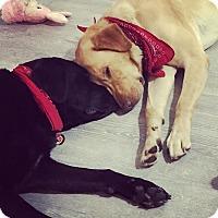 Adopt A Pet :: Remington - Franklin, TN
