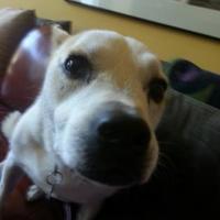 Australian Cattle Dog/Beagle Mix Dog for adoption in Glen Allen, Virginia - Haley