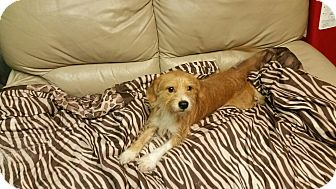 Terrier (Unknown Type, Small) Mix Dog for adoption in Deer Park, Texas - Copper