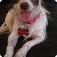 Adopt A Pet :: Polly - Goodyear, AZ