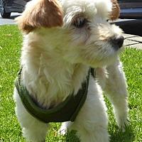 Adopt A Pet :: Iris - West Los Angeles, CA
