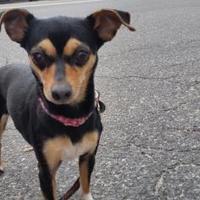 Adopt A Pet :: Lala - Lowell, MA
