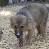 Adopt A Pet :: Ukiah 3 - Paso Robles, CA