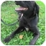 Photo 1 - Labrador Retriever/Flat-Coated Retriever Mix Dog for adoption in Bloomsburg, Pennsylvania - Paris