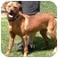 Photo 3 - Vizsla/American Bulldog Mix Dog for adoption in Osseo, Minnesota - Rusty