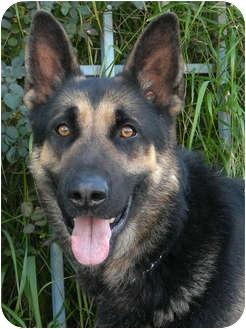 German Shepherd Dog Mix Dog for adoption in Los Angeles, California - Zack von Zelinger
