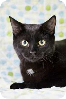 Domestic Shorthair Cat for adoption in Port Hope, Ontario - Kourtney