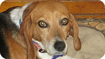 Beagle Mix Dog for adoption in Franklin, Virginia - Dixie