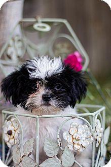 Shih Tzu Puppy for adoption in Auburn, California - Luke Sky Walker