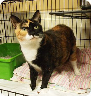 Calico Cat for adoption in Ocean City, New Jersey - Tara