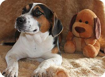 Beagle Mix Puppy for adoption in Salem, New Hampshire - Sarah