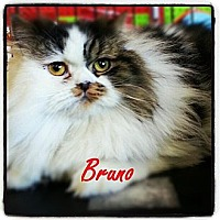 Adopt A Pet :: Bruno - Beverly Hills, CA