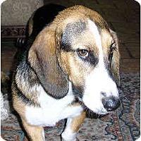 Adopt A Pet :: Desiree - Phoenix, AZ
