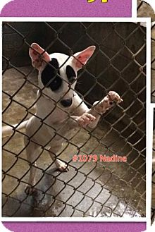 American Pit Bull Terrier Mix Puppy for adoption in Chapmanville, West Virginia - Nadine
