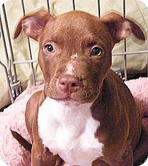 Terrier (Unknown Type, Medium)/Terrier (Unknown Type, Medium) Mix Puppy for adoption in ST LOUIS, Missouri - Zita