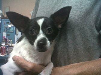 Chihuahua/Corgi Mix Dog for adoption in Fresno, California - Fosse