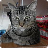 Domestic Shorthair Cat for adoption in Owenboro, Kentucky - ANASTASIA