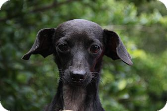 Dachshund Dog for adoption in Mount Pleasant, South Carolina - Jager
