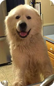 Great Pyrenees Mix Dog for adoption in WESTMINSTER, Maryland - Mikey