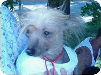 Chinese Crested Mix Dog for adoption in Albany, New York - Simon