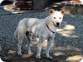 Jindo Mix Dog for adoption in Los Angeles, California - Jett