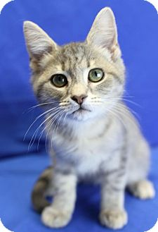 Domestic Shorthair Kitten for adoption in Winston-Salem, North Carolina - Belle