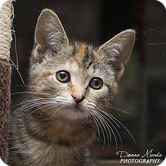 Domestic Shorthair Cat for adoption in Troy, Ohio - Lacey