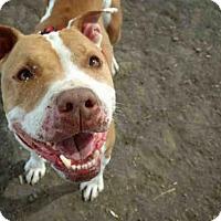 Pit Bull Terrier Dog for adoption in Camarillo, California - *RICKY BOBBY