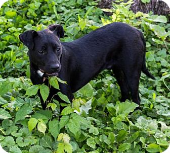 Labrador Retriever Mix Dog for adoption in Fairfax, Virginia - Marty