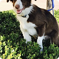 Adopt A Pet :: BO JANGLES - San Pedro, CA