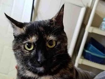 Domestic Mediumhair Cat for adoption in Rogers, Arkansas - TABITHA
