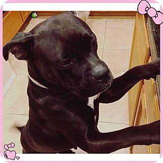 Boxer/Labrador Retriever Mix Dog for adoption in Corona, California - Willow, just a baby Boxer Lab