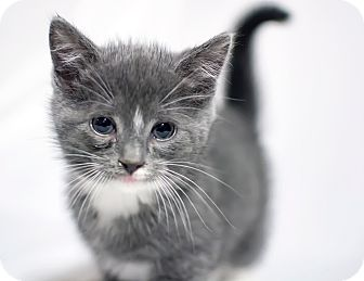 Domestic Shorthair Kitten for adoption in Jersey City, New Jersey - Lima Bean