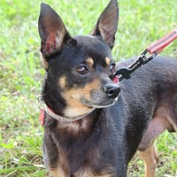 Chihuahua Dog for adoption in Franklin, Tennessee - CHICO