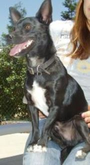 Terrier (Unknown Type, Small) Mix Dog for adoption in Fresno, California - Squirt