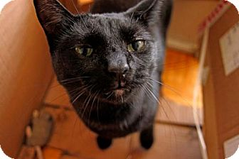 Domestic Shorthair Cat for adoption in Toronto, Ontario - Beau