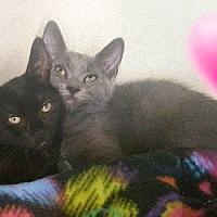 Russian Blue Kitten for adoption in Woodland Hills, California - Luna & Natasha (bonded pair)