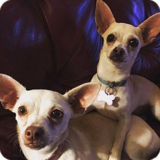 Chihuahua Mix Dog for adoption in Oklahoma City, Oklahoma - Lovey and Dovey