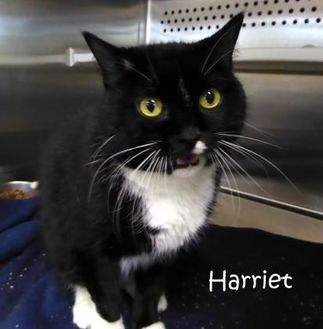 Domestic Shorthair/Domestic Shorthair Mix Cat for adoption in Kansas City, Missouri - Harriet