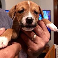 Adopt A Pet :: Laila - chicago, IL